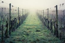 Vineyard in the mist